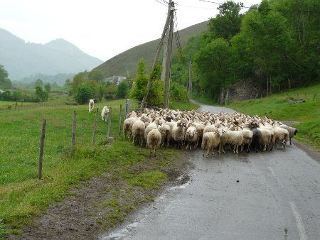 Sheep and dogs blocking road