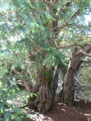 Europe's oldest tree, Fortingall, Scotland