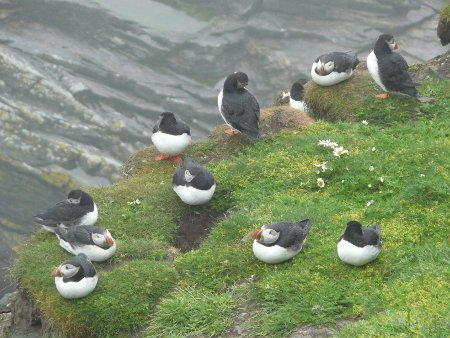Puffins at Sumburgh Head RSPB Nature Reserve