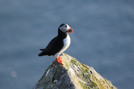 A puffin on Runde