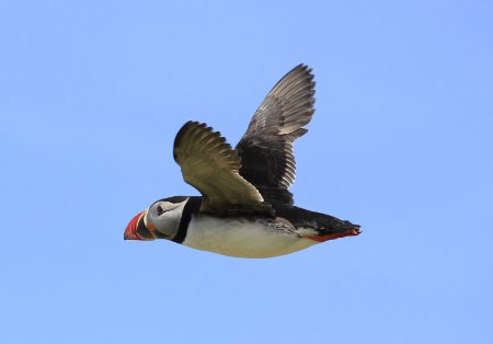 Puffin in the Farne Islands