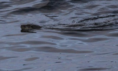 Otter in Norwick Bay, Unst