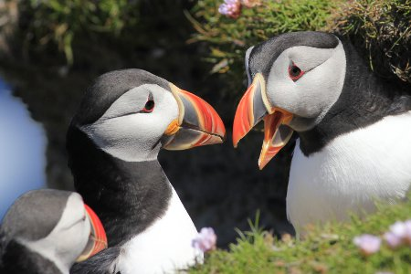 Puffins at RSPB Sumburgh Head