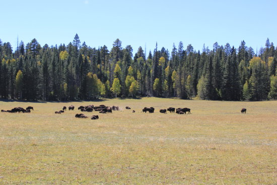 Buffalo grazing driving to North Rim