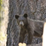 Young bear in Kings Canyon NP