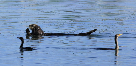 Sea Otter at Moss Landing Beach
