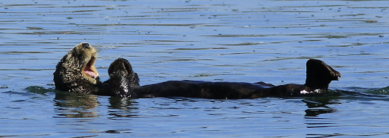 Sea Otter at Moss Landing, CA