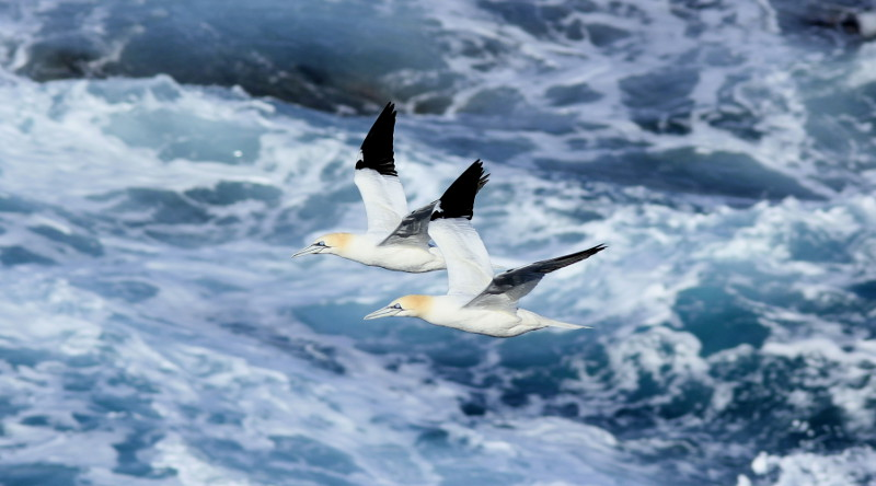 Gannets flying over the sea