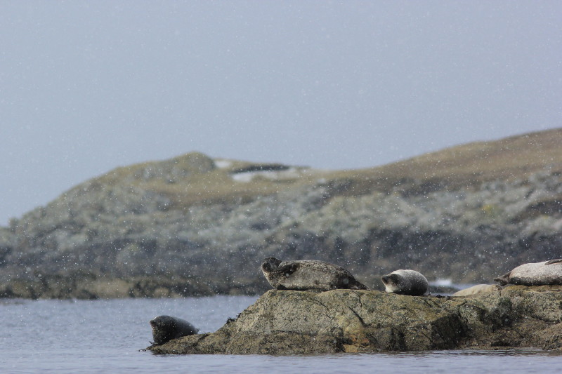 Seals in the snow, Shetland