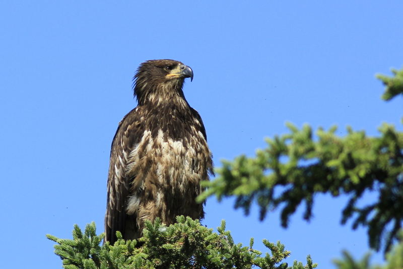 Golden Eagle, Pickhandle Lake, Yukon