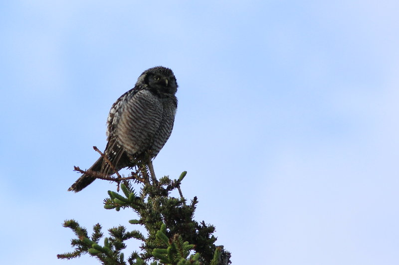 Denali National Park Northern Hawk Owl