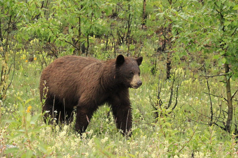 Brown bear, Alaska Highway